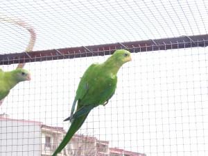 Papoušek nádherný polytelis swainsonii